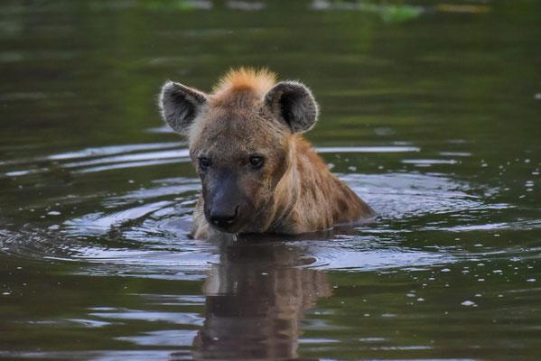 Hyäne beim Baden