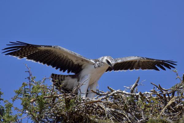 Junger Martial Eagle mit Flugversuchen