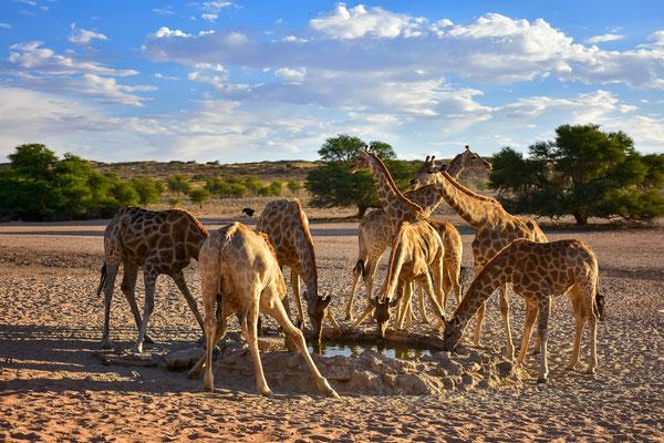 Giraffenbar