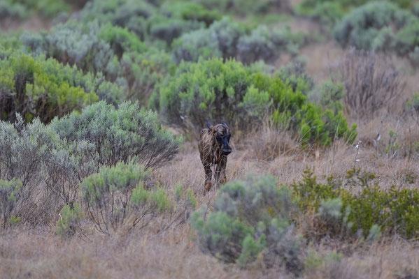 Das war das Jagdziel der Gepardin - ein gerade geborenes junges Black Wildebeest