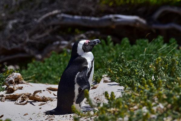 Pingu! @Boulders Beach