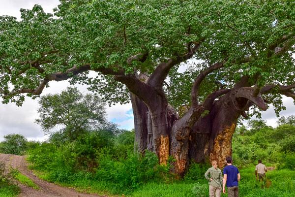 Zweitgrößter (?) Baobab in Südafrika