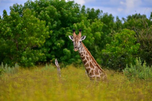 Liegende Giraffe (so hoch war das Gras dann auch nicht)