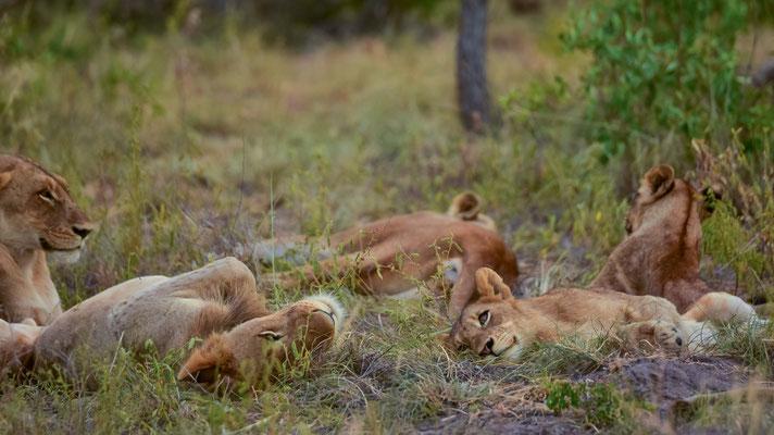 Gefunden! Die grosse Löwenfamilie am Dösen