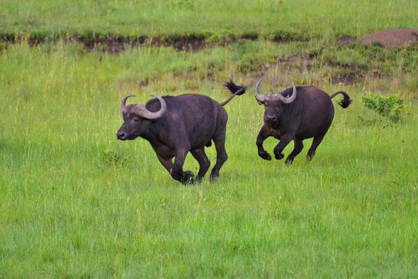 Ausgelassene Büffelherde