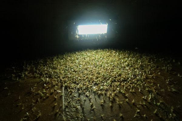 Abertausende von Mayflies (Eintagesfliegen) schwirrten abends um die Lichter