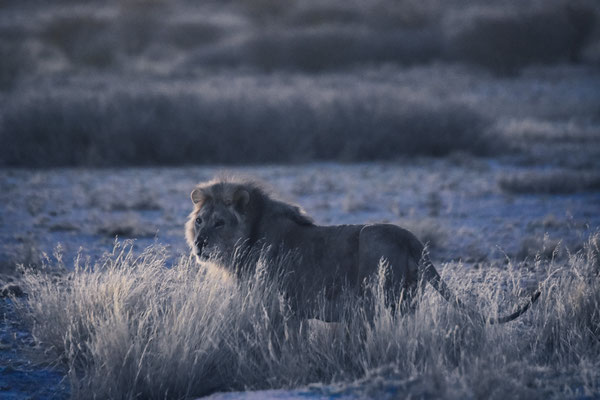 Dämmerungs-Löwe