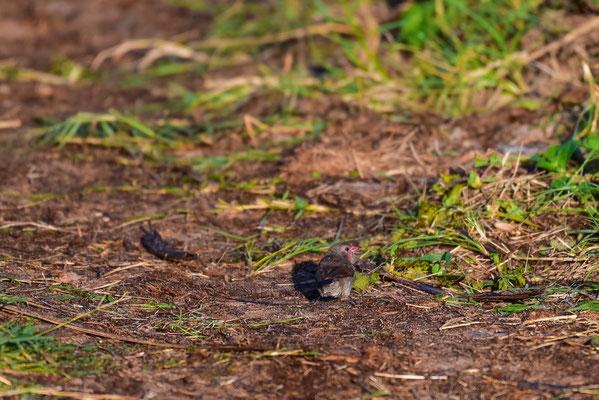 Brown Firefinch, im südlichen Afrika nur im Delta anzutreffen