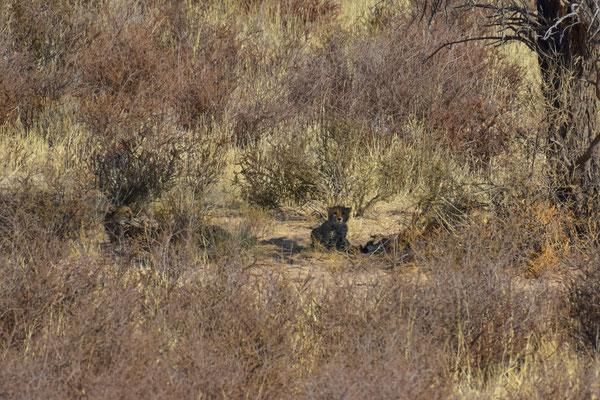Da sind die Geparden!