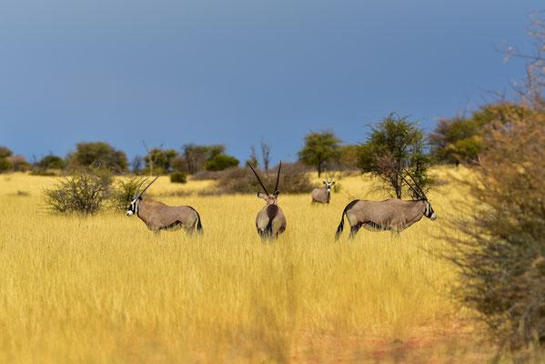 Kompass-Rosen-Oryx?