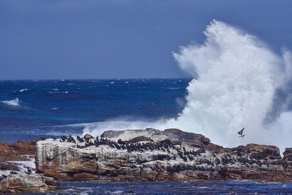 Stürmischer Atlantik, kümmert die Klippenbewohner wenig