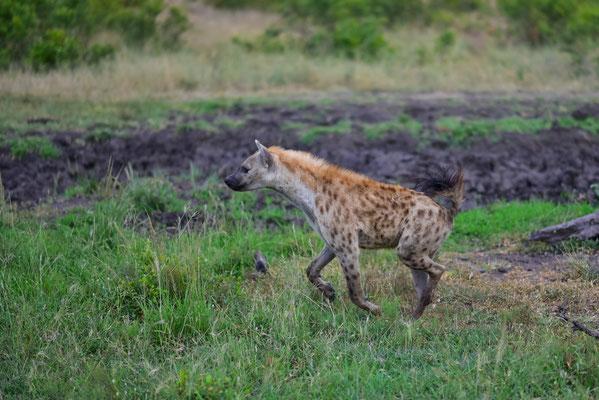 Attacke! Hyänen vertreiben die Löwen vom Wasserloch