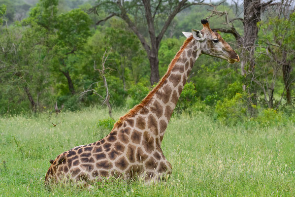 entspannte Giraffe