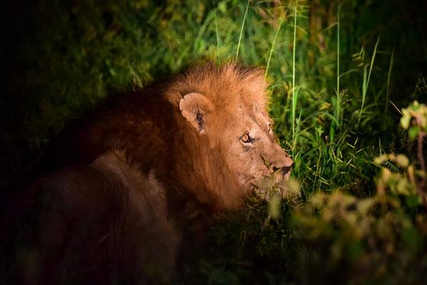 Löwe beim Nightdrive