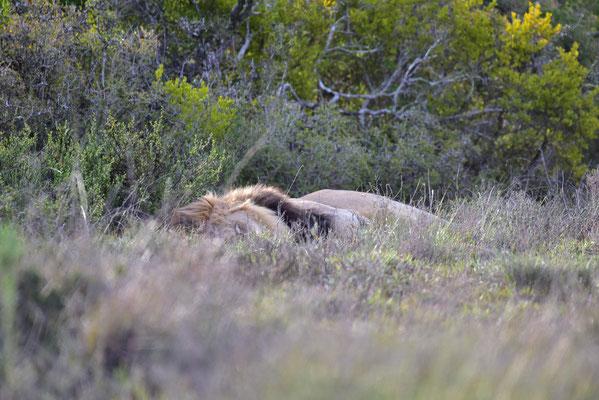 Der gewünschte Löwe