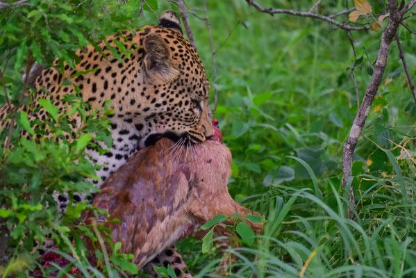 Leopard mit jungem Impala