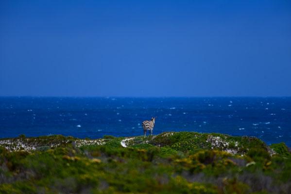 Das sieht irgendwie falsch aus, ein Zebra am Meer!?