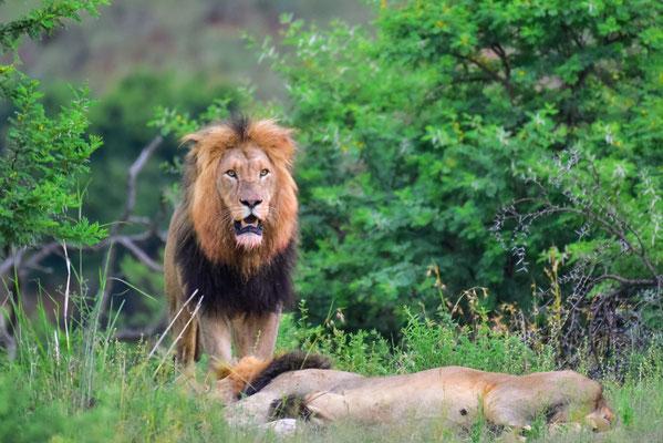 Löwensichtung