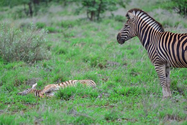 Zebra Baby am schlafen