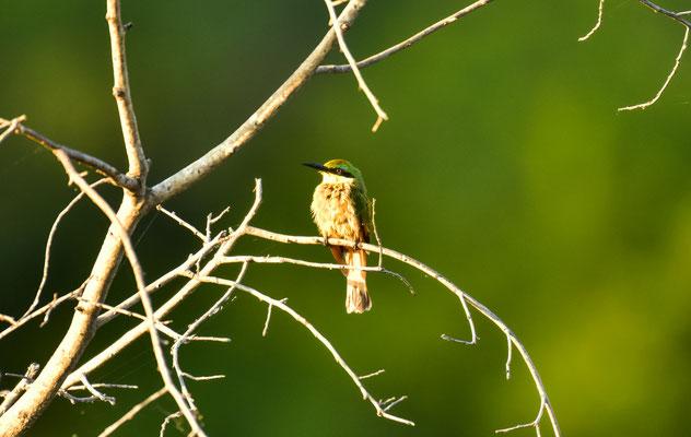 einer unserer Lieblinge: Little Bee-Eater