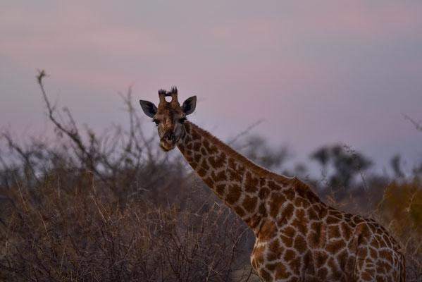 Guten Morgen Frau Giraffe (schöne Puschel)