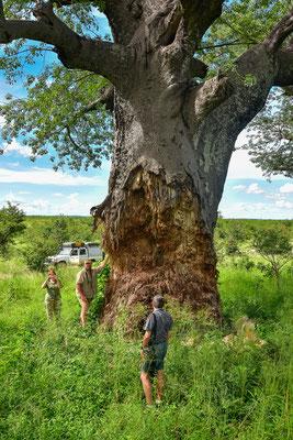 Elefantenspuren an Baobabs - ob es der hier noch lange überleben wird?