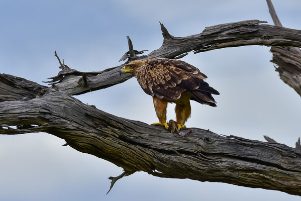 Tawny Eagle mit Beute