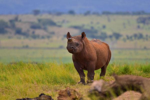 Ein weiteres Black Rhino