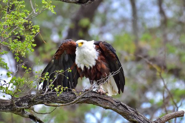 Fish Eagle aufgeschreckt ...