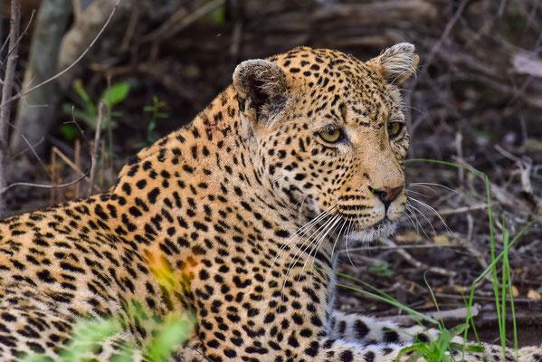 Auf jedem Gamedrive ein anderer Leopard