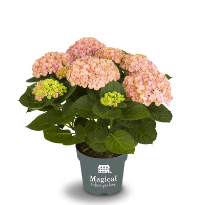 ©Magical Colours Your Home, hortensia Revolution rose en 14 cm.
