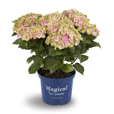 ©Magical Four Seasons, hortensia Amethyst rose