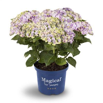 ©Magical Four Seasons, hortensia Amethyst bleu, changement de couleurs
