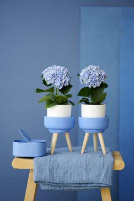 ©Magical Hydrangea, hortensia d'intérieur, Magical Solo Revolution Bleu