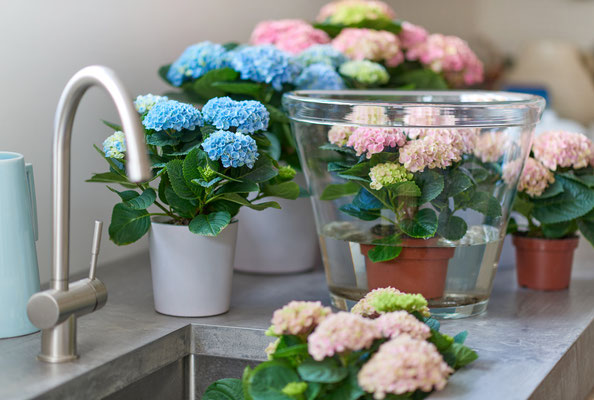 ©Magical Colours Your Home_Hydrangea Magical mix