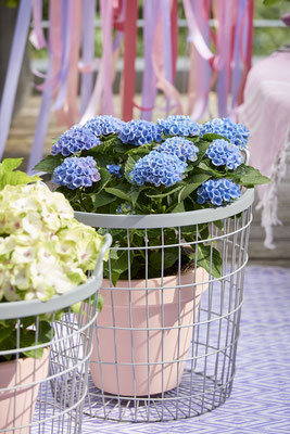 ©Magical Four Seasons, hortensia Revolution bleu