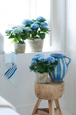 ©Magical Colours Your Home_Hydrangea Magical Revolution Blue