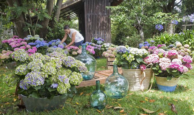 ©Magical Four Seasons, l'hortensias fleurit les jardins à la françaises