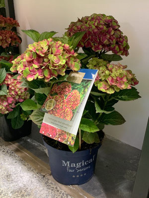 ©Archi'Tendances - Salon du végétal 2019 - Magical Hydrangea Amethyst Red