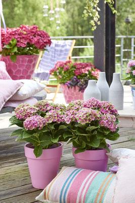 ©Magical Four Seasons, hortensias d'été