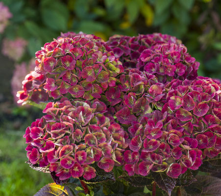 ©Magical Four Seasons - Hortensia Amethyst Red_in the garden
