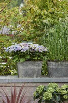 ©Magical Four Seasons, hortensia Amethyst bleu