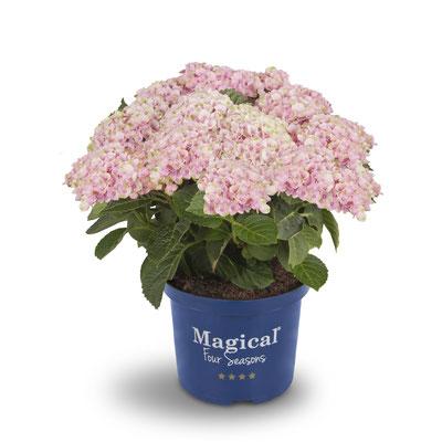 ©Magical Four Seasons, hortensia Revolution rose