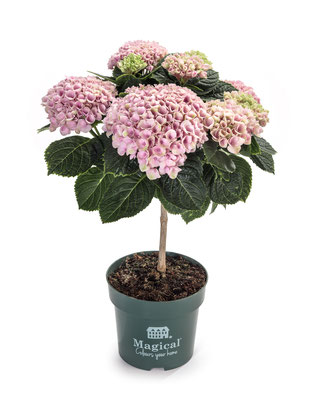 ©Magical Flower Tree rose en pot