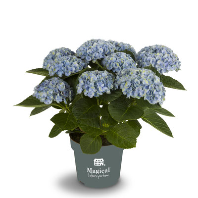 ©Magical Colours Your Home, hortensia Revolution bleu en 14 cm.