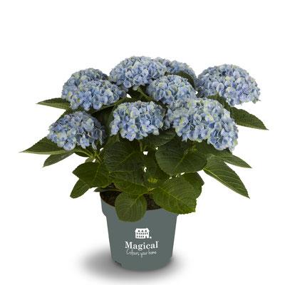 ©Magical Colours Your Home, hortensia Revolution bleu en 14 cm.