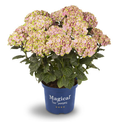 ©Magical Four Seasons, hortensia Coral rose