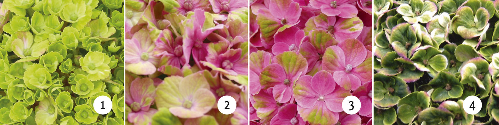 ©Magical Coral rose, changement de couleurs