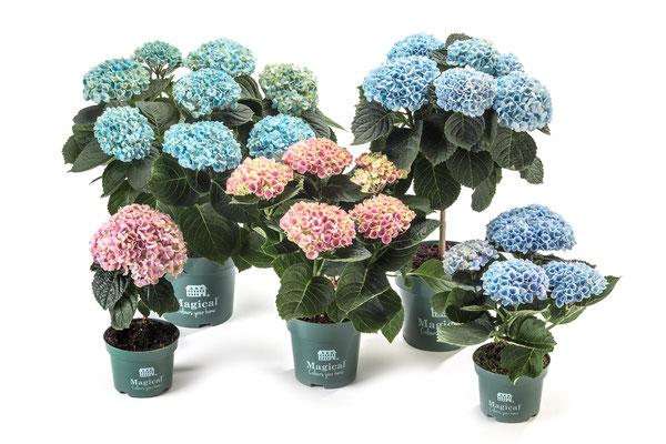 ©Magical Colours Your Home, toutes les variétés en pot