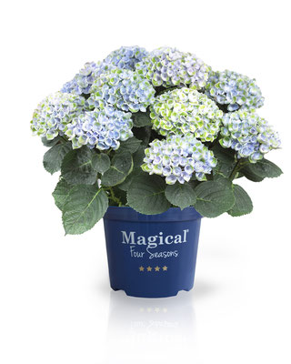©Magical Four Seasons, hortensia Revolution bleu